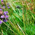 Self heal (Prunella vulgaris).- Cascade Head