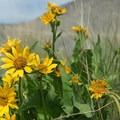 Arrowleaf balsom root (Balsamorhiza sagittata).- Smith Rock, Misery Ridge Hiking Trail