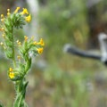 Fiddle-neck (Amsinckia).- Smith Rock, Misery Ridge Hiking Trail