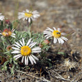 Cushion daisy (Erigeron engelmannii).- Smith Rock, Misery Ridge Hiking Trail