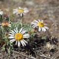 Cushion daisy (Erigeron engelmannii).- Smith Rock, Misery Ridge Hiking Trail
