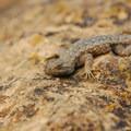 Western fence lizard (Sceloporus occidentalis).- Smith Rock, Misery Ridge Hiking Trail