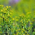 Leafy spurge (Euphorbia esula).- Smith Rock, River Trail Hike