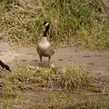 Canada geese (Branta canadensis).- Smith Rock, River Trail Hike