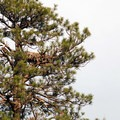 Bald eagle (Haliaeetus leucocephalus) and nest in a ponderosa pine. - Smith Rock, River Trail Hike
