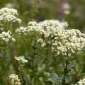 Hoary cress (Cardaria draba).- Smith Rock, River Trail Hike