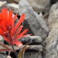 Paintbrush creeping out of the rocks.- Tam McArthur Rim Hike
