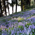 Looking down toward Green Lakes over a field of lupine.- Green Lakes