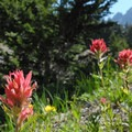 Magenta paintbrush (Castilleja parviflora).- Green Lakes