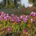 Pink mountain heather (Phyllodoce empetriformis).- Tam McArthur Rim to Green Lakes