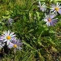 Alpine aster (Aster alpigenus).- Todd Lake Hike