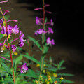Fireweed (Chamerion angustifolium) along the canal.- Broken Top Crater Hike