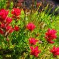 Magenta paintbrush (Castilleja parviflora).- Broken Top Crater Hike