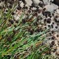 Mertens' rush (Juncus mertensianus).- Broken Top Crater Hike