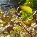 Red-osier dogwood (Cornus sericea).- Dillon Falls