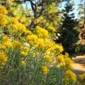 Gray rabbitbrush (Ericameria nauseosa).- Dillon Falls