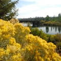 Gray rabbitbrush (Ericameria nauseosa).- Deschutes River Trail, South Canyon Reach