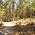 Trail through lodgepole pines (Pinus contorta) on the trail's east side.- Deschutes River Trail, South Canyon Reach