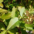Red-osier dogwood (Cornus-sericea).- Deschutes River Trail, South Canyon Reach