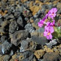 Cusick's monkeyflower (Mimulus cusickii).- Lava Butte, Trail of the Molten Land