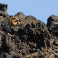 Golden-mantled ground squirrel (Callospermophilus lateralis).- Lava Butte, Trail of the Molten Land