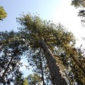 Ponderosa pine (Pinus ponderosa).- Lava Cast Forest Interpretive Trail