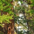 Western larch (Larix occidentalis), a deciduous conifer.- Shevlin Park, Aspen Hall Trail