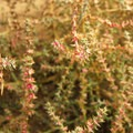 """Prickly Russian thistle (Kali tragus), better known as """"tumbleweed.""""- Shevlin Park, Aspen Hall Trail"""