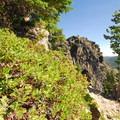 Green manzanita (Arctostaphylos patula).- Paulina Peak Hiking Trail