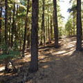 Forest of lodgepole pine (Pinus contorta) and mountain hemlock (Tsuga mertensiana).- Paulina Peak Hiking Trail