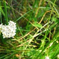 Common yarrow (Achillea millefolium).- Paulina Lake Loop Trail + Hot Springs