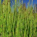 Scouring rush (Equisetum hyemale).- Paulina Lake Loop Trail + Hot Springs