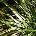 Bear grass (Xerophyllum tenax).- Serene + Rock Lakes