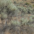 Tall Sagebrush (Artemisia tridentata)- Deschutes River, Ferry Springs Hike