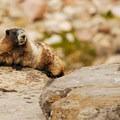 Hoary marmot (Marmota caligata).- Goat Lake via the Snowgrass Trailhead