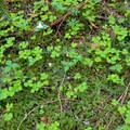 Ground cover of western trillium (Trillium ovatum) and Oregon oxalis (Oxalis oregana).- Hunchback Mountain