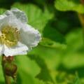 Thimbleberry (Rubus parviflorus).- Bald Butte Hike