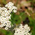 Common yarrow (Achillea millefolium).- Bald Butte Hike