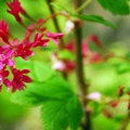 Red-flowering currant (Ribes sanguineum).- Bald Butte Hike