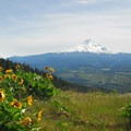 View of Mount Hood (11,250 ft) to the south with field of arrowleaf balsamroot (Balsamorhiza sagittata).- Bald Butte Hike