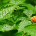 Salmonberry (Rubus spectabilis).- Salmon River, Old Trail