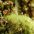 Lipstick cladonia (Cladonia macilenta) and broom moss (Dicranum scoparium).- Salmon River, Old Trail