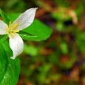 Western trillium (Trillium ovatum)- Lost Lake Lakeshore Trail