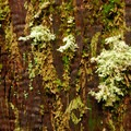 Mosses and lichen on a western red cedar- Lost Lake Lakeshore Trail
