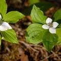 Bunchberry (Cornus unalaschkensis).- Timothy Lake Loop Trail