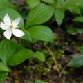 Strawberry bramble (Rubus pedatus).- Timothy Lake Loop Trail