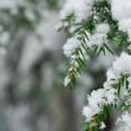 New snow on hemlock.- Barlow Pass Sno-Park Beaver Marsh Loop