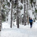 A dense forest of hemlock and Douglas fir frames the trail.- Barlow Pass Sno-Park Beaver Marsh Loop