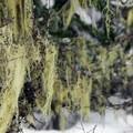 Spanish moss.- Barlow Pass Sno-Park Beaver Marsh Loop