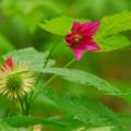 Salmonberry (Rubus spectabilis).- Forest Park